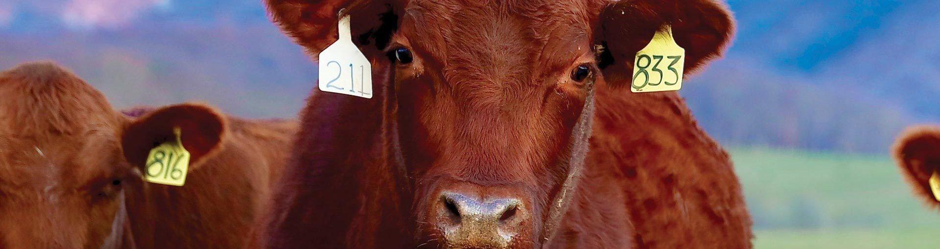 Cattle spgca